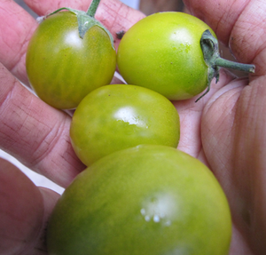 Green Grape-Tomatoes-Vegetables-Full Circle Seeds
