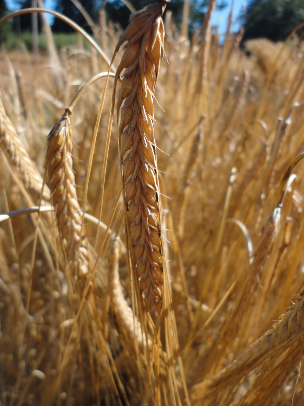 Harrington Malting Barley-Grains & Cover Crops-Grains & Cover Crops-Full Circle Seeds
