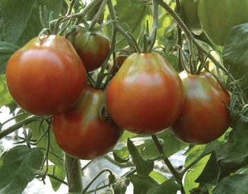 Japanese Black Trifele-Tomatoes-Vegetables-Full Circle Seeds