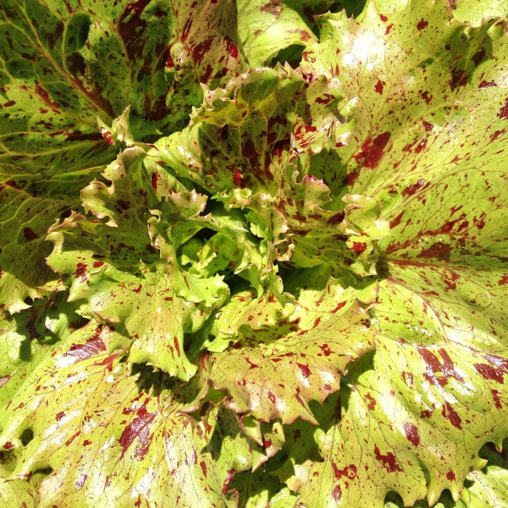 Jester - red crisp leaf-Lettuce-Vegetables-Full Circle Seeds