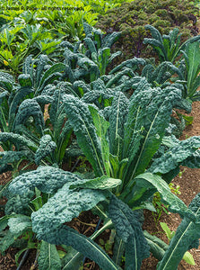 Kale Blend-Kale-Vegetables-Full Circle Seeds