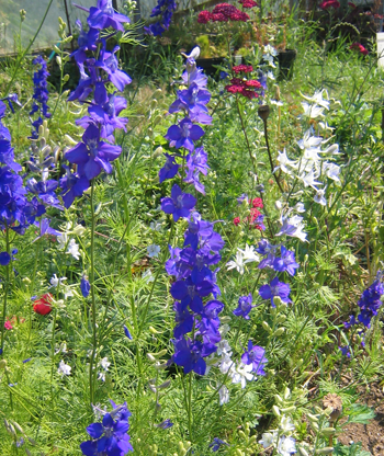 Larkspur-Flowers-Flowers-Full Circle Seeds
