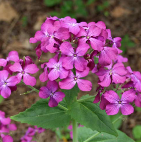 Lunaria, Honesty-Flowers-Flowers-Full Circle Seeds