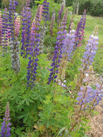 Lupin, ALM Mix-Flowers-Flowers-Full Circle Seeds