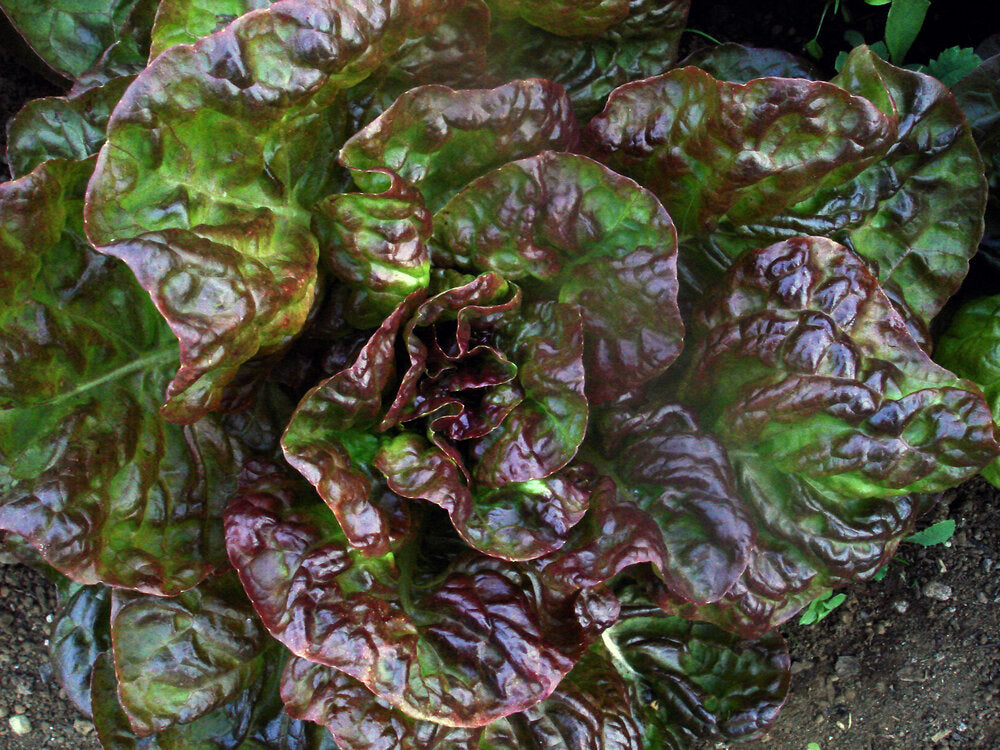 Marvel of Four Seasons - red, butterhead-Lettuce-Vegetables-Full Circle Seeds