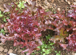 Mascara - red, oakleaf-Lettuce-Vegetables-Full Circle Seeds