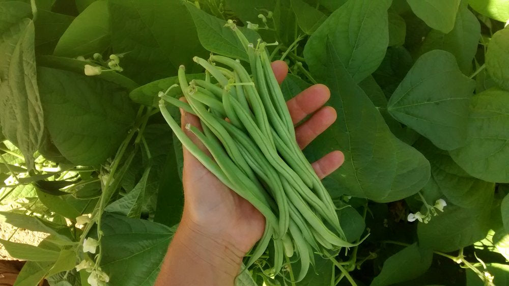 Maxibel-Beans-Vegetables-Full Circle Seeds