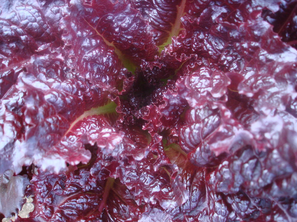 Merlot - red, leaf-Lettuce-Vegetables-Full Circle Seeds