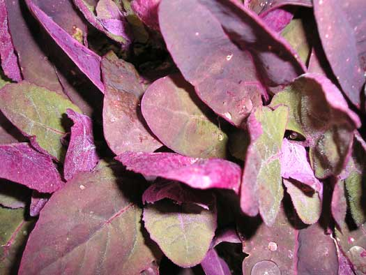 Red, Green & Purple Orach Mix-Salad Greens-Vegetables-Full Circle Seeds