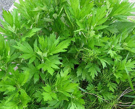Mugwort-Herbs-Herbs-Full Circle Seeds