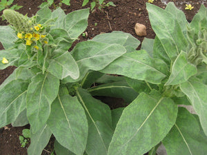 Mullein-Herbs-Herbs-Full Circle Seeds