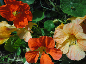 Nasturtium, ALM Mix-Flowers-Flowers-Full Circle Seeds