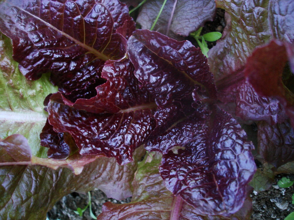Outredgeous - red, romaine-Lettuce-Vegetables-Full Circle Seeds