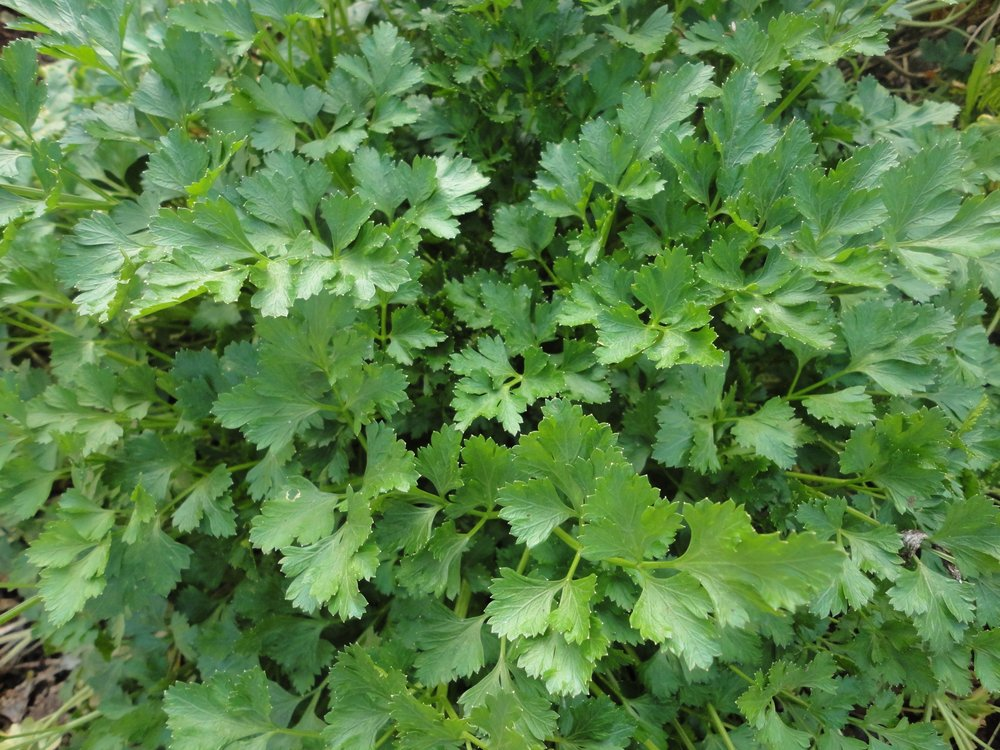 Parsley, Italian Flat Leaf-Herbs-Herbs-Full Circle Seeds