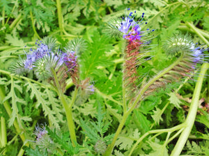 Phacelia-Flowers-Flowers-Full Circle Seeds