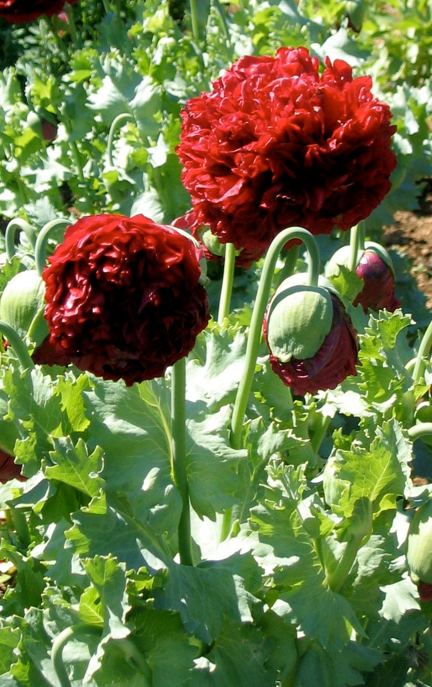 Poppy, ALM Annual Mix-Flowers-Flowers-Full Circle Seeds