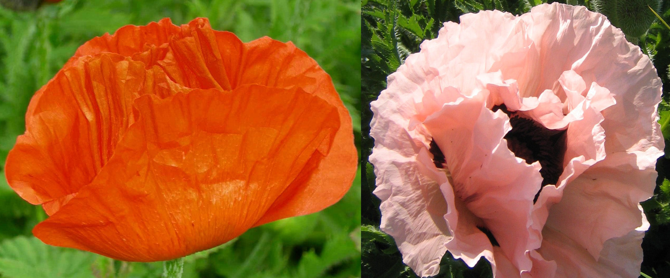 Poppy, Perennial Mix-Flowers-Flowers-Full Circle Seeds
