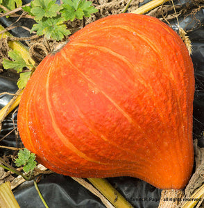 Potimarron Squash-Winter Squash-Vegetables-Full Circle Seeds