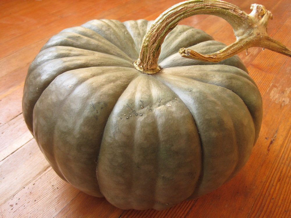 Queensland Blue Squash-Winter Squash-Vegetables-Full Circle Seeds