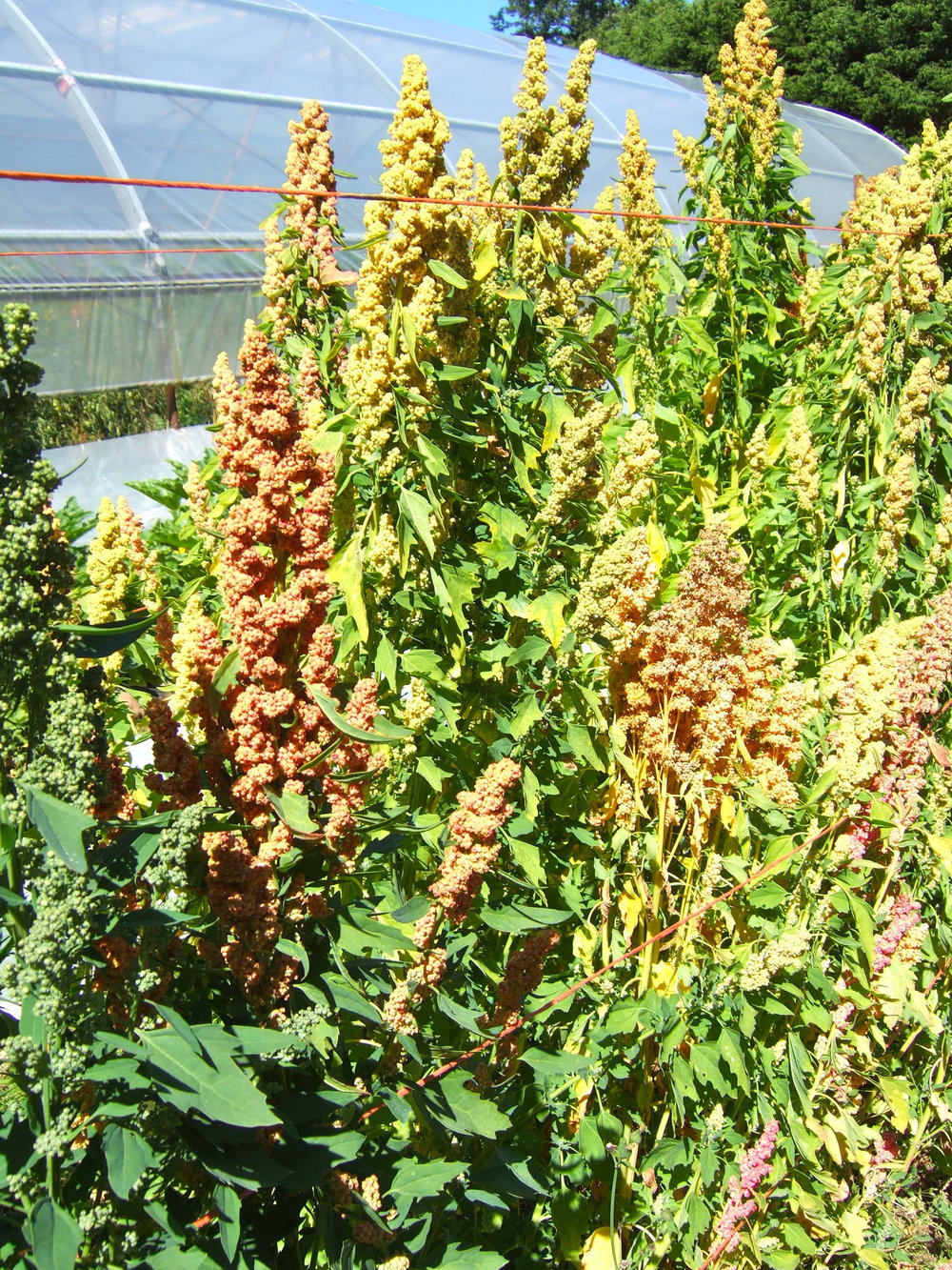 Quinoa-Grains & Cover Crops-Grains & Cover Crops-Full Circle Seeds