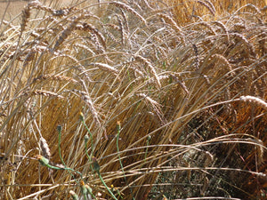 Red Fife Wheat-Grains & Cover Crops-Grains & Cover Crops-Full Circle Seeds