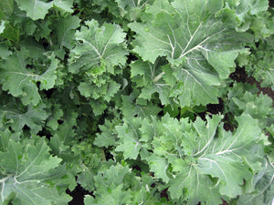 Siberian Kale-Kale-Vegetables-Full Circle Seeds
