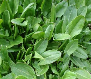 Sorrel, French or Garden-Culinary Herbs-Herbs-Full Circle Seeds