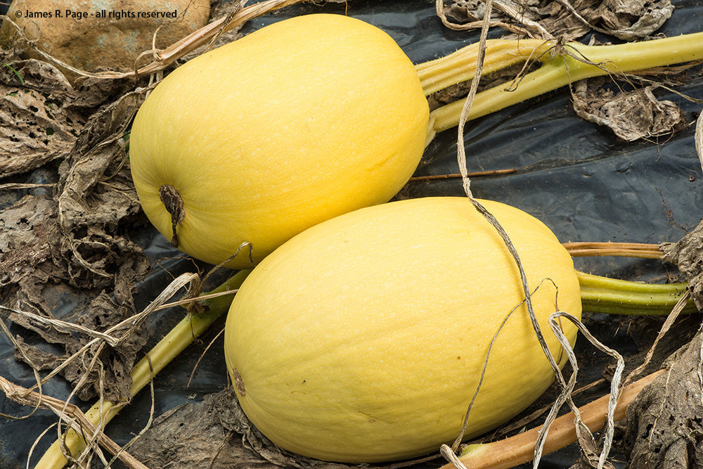 Spaghetti Squash-Winter Squash-Vegetables-Full Circle Seeds