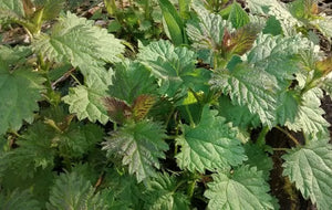 Stinging Nettle-Herbs-Herbs-Full Circle Seeds