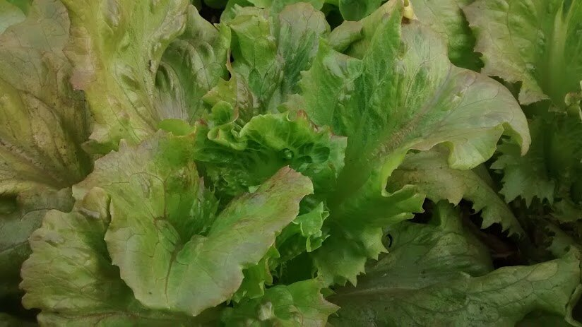 Summer Marvel- red, crispleaf-Lettuce-Vegetables-Full Circle Seeds