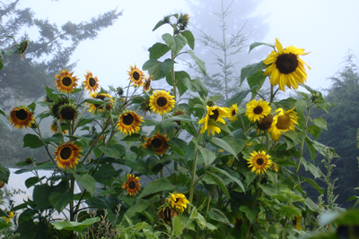 Sunflower, ALM Mix-Flowers-Flowers-Full Circle Seeds