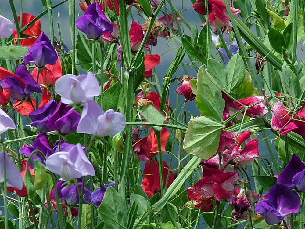 Sweet Pea, ALM Mix-Flowers-Flowers-Full Circle Seeds