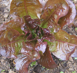 Sweet Valentine - red, romaine-Lettuce-Vegetables-Full Circle Seeds