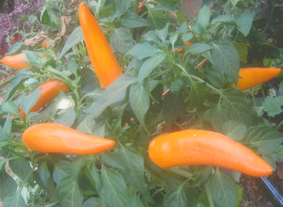 Tequila Sunrise-Peppers-Vegetables-Full Circle Seeds