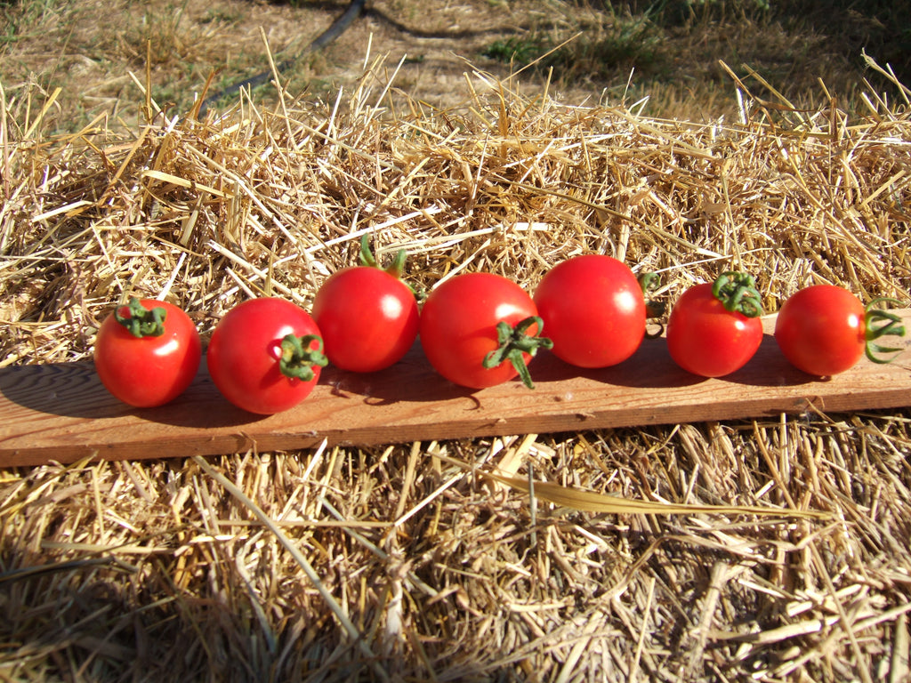 Washington Cherry-Tomatoes-Vegetables-Full Circle Seeds