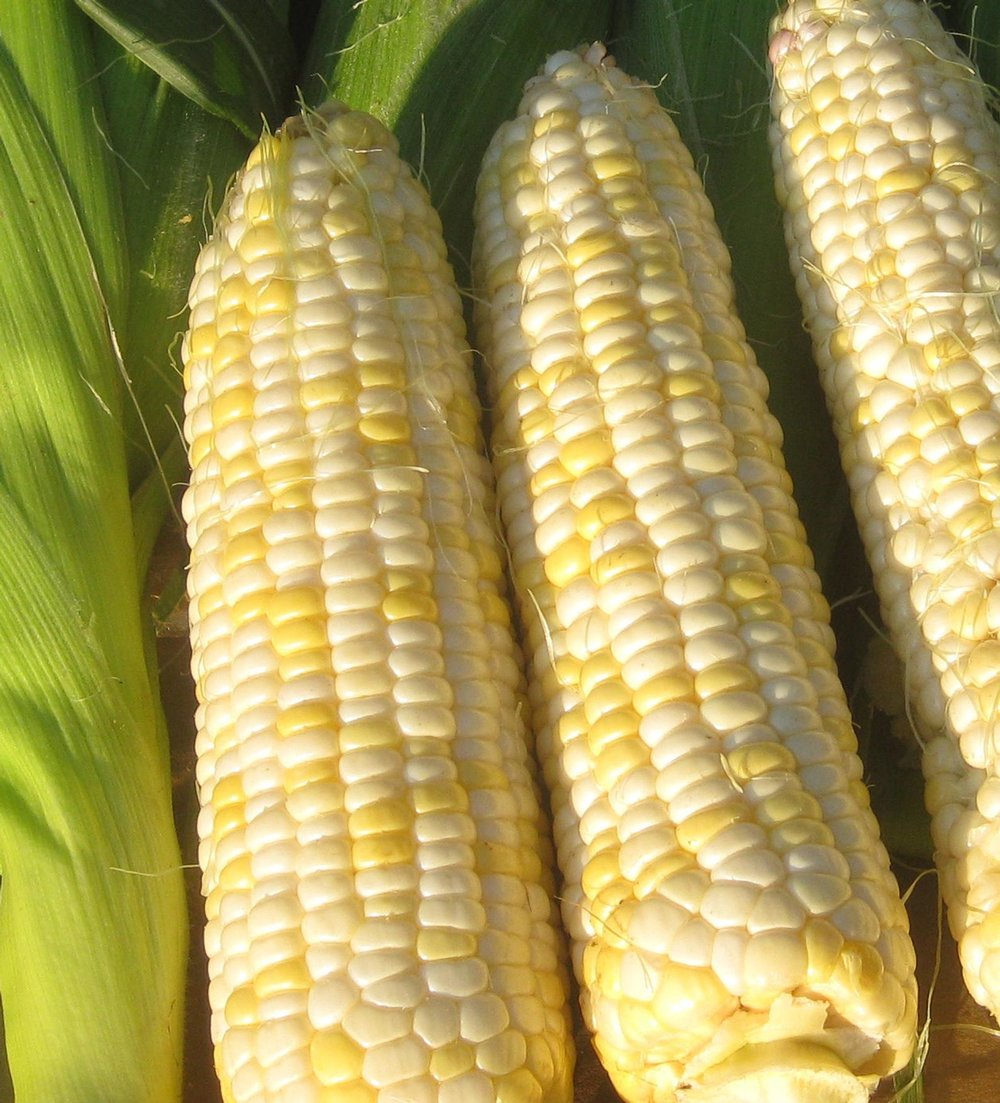 Who Gets Kissed Sweet Corn-Corn-Vegetables-Full Circle Seeds