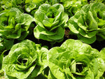 Winter Density - green, bibb/romaine-Lettuce-Vegetables-Full Circle Seeds