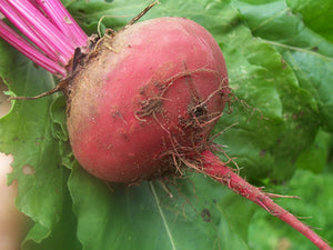 Winterkeeper Beets-Beets-Vegetables-Full Circle Seeds
