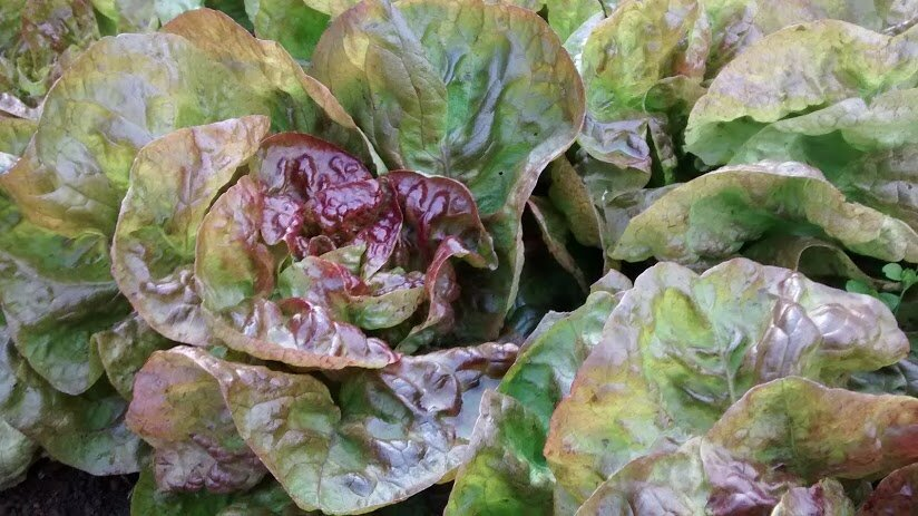 Yugoslavian Red - red, butterhead-Lettuce-Vegetables-Full Circle Seeds