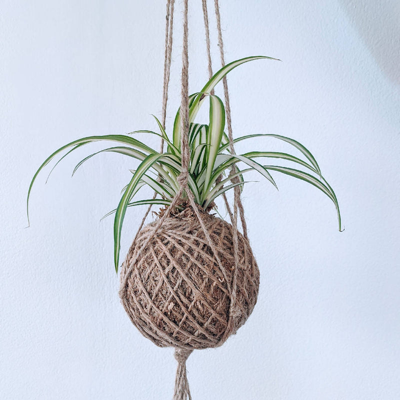 Spider Kokedama - Moss Ball