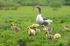 Goose Grower / Finisher Feed