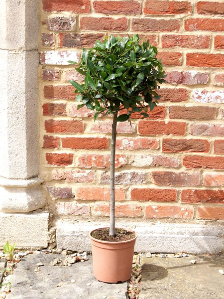 Caring for your Bay Tree