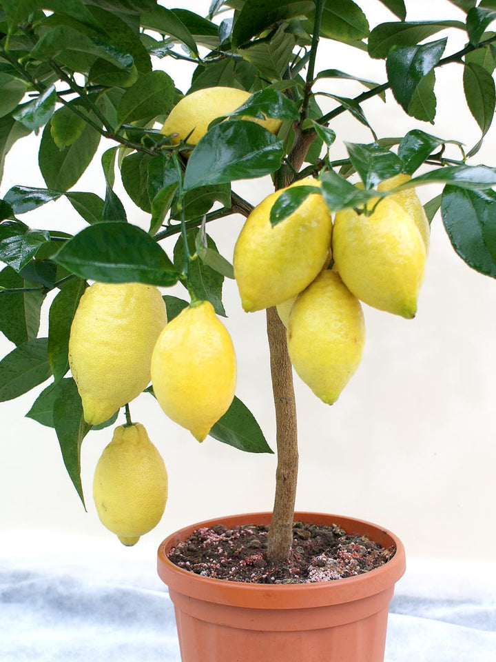 Caring for your Citrus Tree