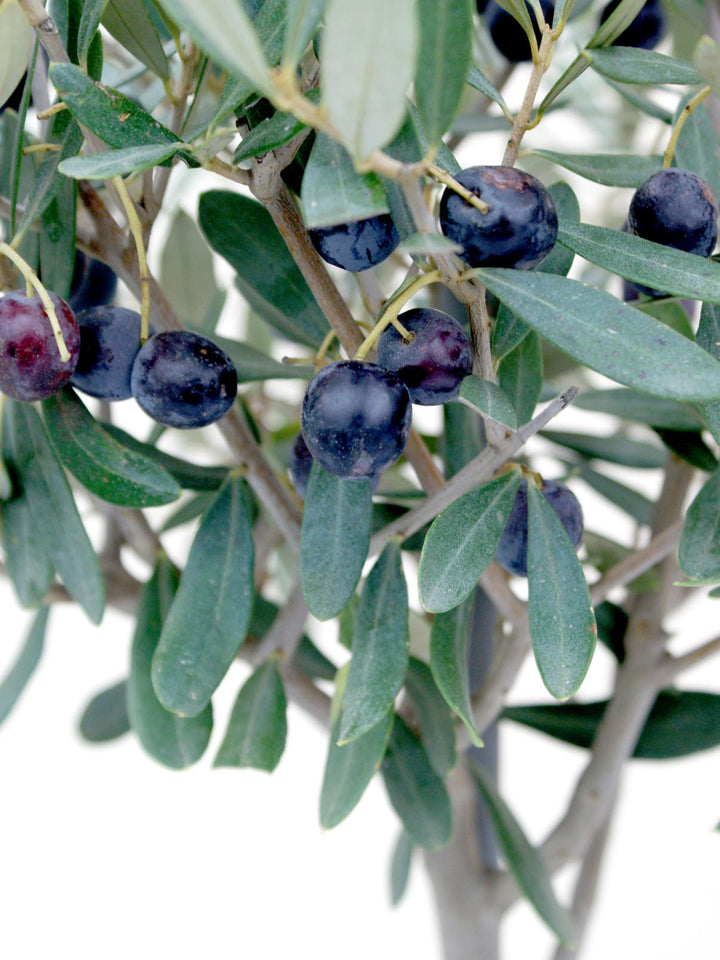 Caring for your Olive Tree