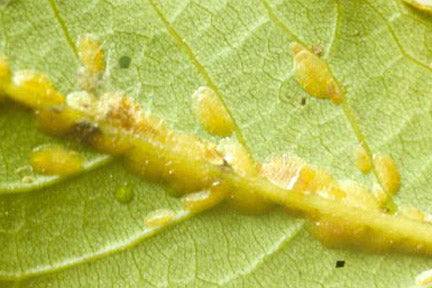 Scale Insects. Credit: RHS Horticultural Science