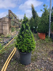 Buxus sempervirens / Box Cone : 5L Pot : 55-60cm High (exc pot)