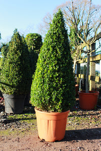 Buxus sempervirens / Box Cone : 35L : 100cm High (exc pot)