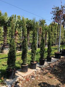 Cupressus sempervirens / Italian Cypress : 20L Pot : 150-175cm High (exc pot)