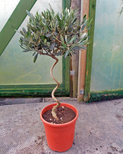 Olea europaea / Olive Tree Corkscrew Standard : 4.5L : 50-55cm High (exc pot)