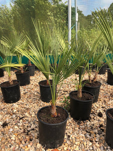 Trachycarpus fortunei / Chusan Palm : 7.5L Pot : 60-80cm High (exc pot)
